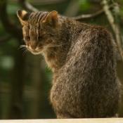 Photo de Chat léopard de sibérie