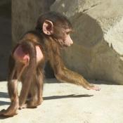 Fond d'écran avec photo de Singe - baboin