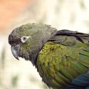 Photo de Perruche - conure de patagonie