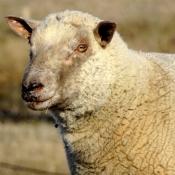 Fond d'écran avec photo de Mouton