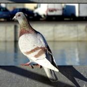 Fond d'écran avec photo de Pigeon