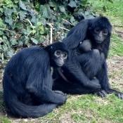 Photo de Singe - tèle à tête noire