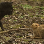 Photo de Chat des marais
