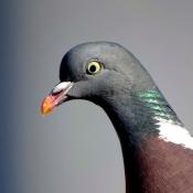 Fond d'écran avec photo de Pigeon - ramier
