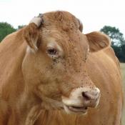 Fond d'écran avec photo de Vache