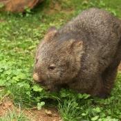 Fond d'écran avec photo de Wombat