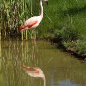 Photo de Flamand rose
