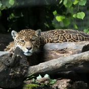 Photo de Jaguar