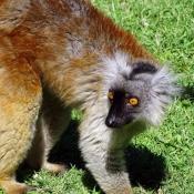 Photo de Lémurien - lémur macaco