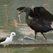 Photo d'Ibis falcinelle