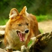 Fond d'écran avec photo de Dhôle - chien sauvage d'asie