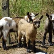 Les fonds d'écran Animaux de la ferme de verolivier