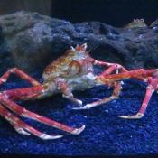 Photo d'Araignée de mer