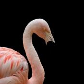 Fond d'écran avec photo de Flamant rose