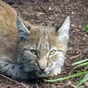 Photo de Lynx