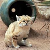 Photo de Chat des sables