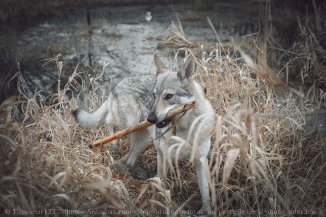 Photo de Chien loup tchécoslovaque