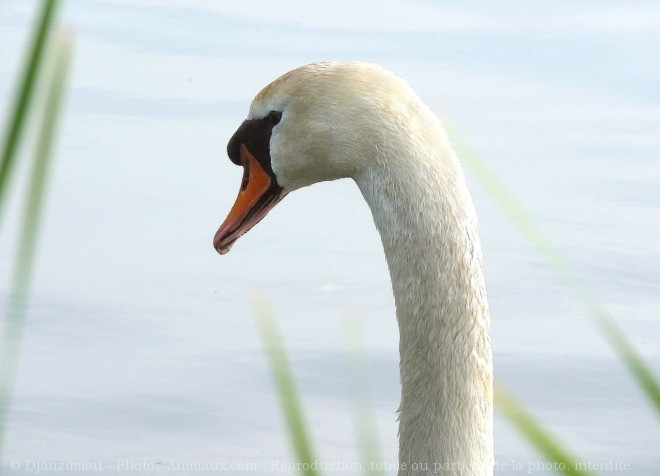 Photo de Cygne