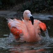 Fond d'écran avec photo de Flamand rose