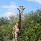 Photo de Girafe