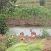 Photo d'Antilope