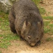 Photo de Wombat