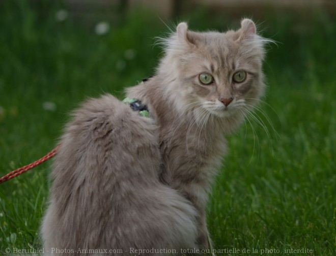 Photo d'American curl poil long