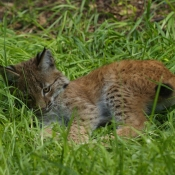 Fond d'écran avec photo de Lynx