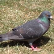 Photo de Pigeon - biset