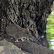 Fond d'écran avec photo de Rat