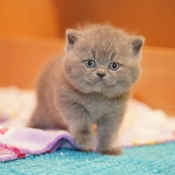 Photo de British shorthair