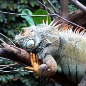 Fond d'écran avec photo d'Iguane