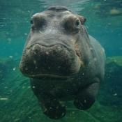 Photo de Hippopotame