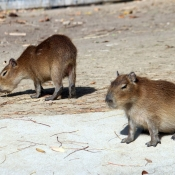 Photo de Cabiai ou capybara