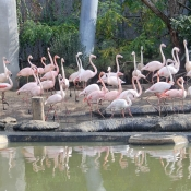Photo de Flamant rose