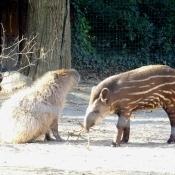 Photo de Tapir
