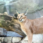 Fond d'écran avec photo de Caracal