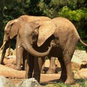 Fond d'écran avec photo d'Eléphant d'afrique