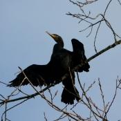 Photo de Grand cormoran