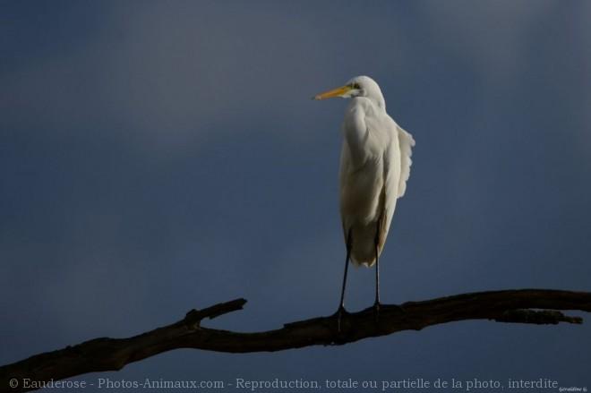 Photo d'Aigrette