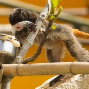 Photo de Singe - tamarin empereur