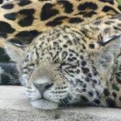 Fond d'écran avec photo de Jaguar