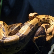 Fond d'écran avec photo de Boa constrictor