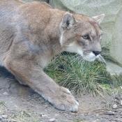Fond d'écran avec photo de Puma