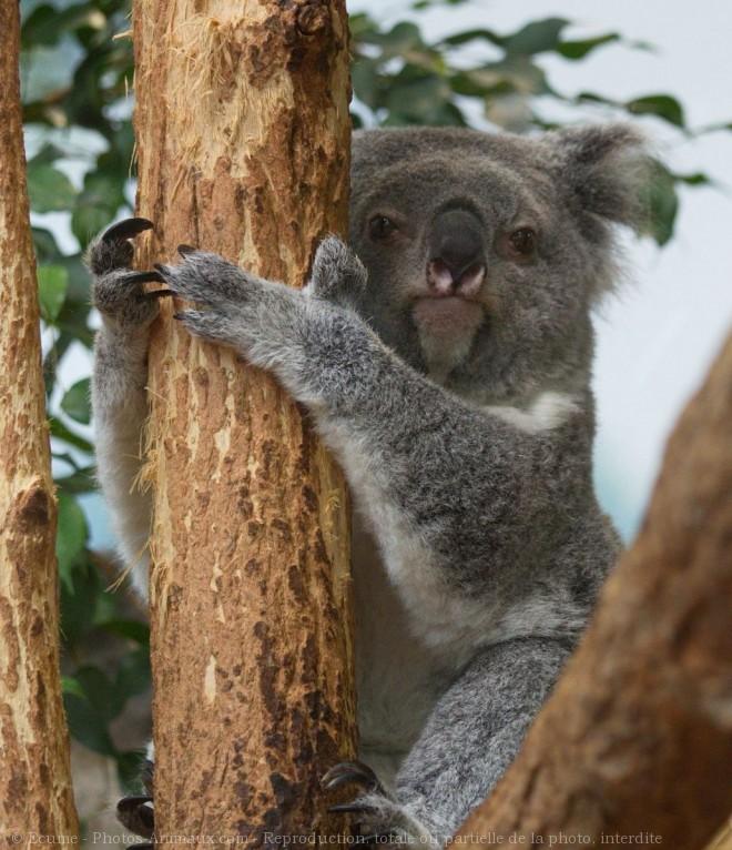 Photo de Koala