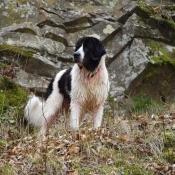 Photo de Landseer (type continental européen)