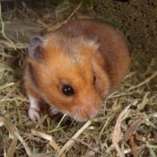 Photo de Hamster