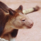 Photo de Kangourou