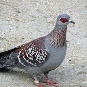 Photo de Pigeon - nouvelle-guinée