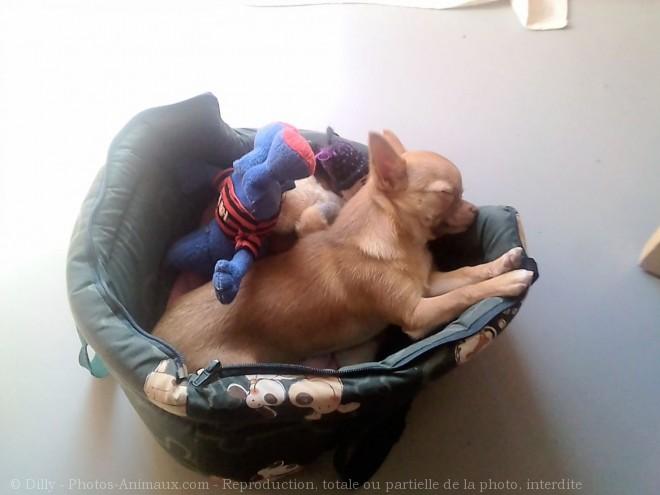 Photo de Chihuahua à poil court